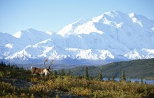 Caribou and Mount McKinley - Denali National Park - Alaska