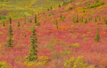 Crimson Fields of Denali National Park - Alaska