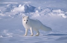 Arctic Fox on Sea Ice - North Slope Near Arctic Ocean - Alaska