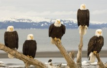 Bald Eagles - Kachemak Bay HD - Alaska