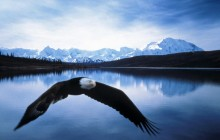 Bald Eagle in Flight - Denali National Park - Alaska