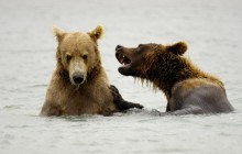Brown Bears Playing - McNeil River - Alaska