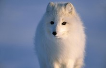 Arctic Fox Looking for Carrion on Sea Ice - Alaska