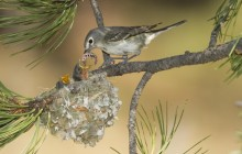 Plumbeous Vireo Mother With Hungry Chicks - Arizona