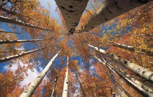 View From Below in an Aspen Grove - Colorado