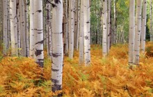 Aspens - Gunnison National Forest - Colorado