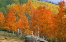 Fall Aspens - Owl Creek Pass - Colorado