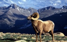 Big Horn Ram - Rocky Mountain National Park - Colorado