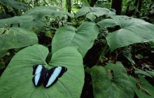 Morpho Butterfly in a Tropical Rainforest - Ecuador