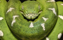 Emerald Tree Boa - Amazon - Ecuador
