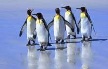 Five King Penguins - Falkland Islands