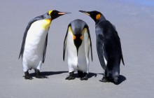 Penguins - Falkland Islands