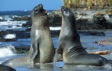 Elephant Seals - Falkland Islands