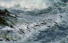 Rockhopper Penguins Surfing Into Shore - Falkland Islands