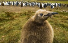 King Penguin Chick - Falkland Islands