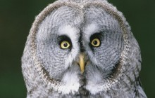 Great Gray Owl - Finland