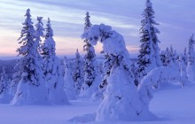 Snow-Covered Spruces - Finland