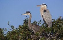 Great Blue Herons at Nest - Venice Rookery - Florida