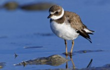 Semipalmated Plover - Sanibel Island - Florida