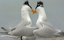 Royal Tern Pair Courting - Florida