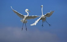 Male Great Egrets Fighting in Flight - Venice - Florida