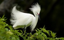 Snowy Egret in Breeding Plumage - Florida