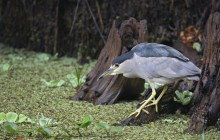 Black-Crowned Night Heron Fishing - Corkscrew Swamp Sanct... - Florida