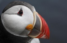 Atlantic Puffin - West Fjords - Iceland