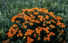 Butterfly Weed in Bloom - Schulenberg Prairie - Morton Ar... - Illinois