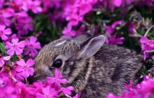 Baby Eastern Cottontail Rabbit - Indiana