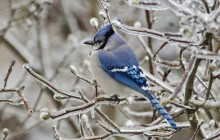 Blue Jay Perched in Ice Encrusted Star Magnolia - Indiana