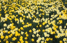 Hillside of Daffodils - Louisville - Kentucky