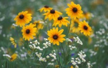 Black-Eyed Susans and Daisy Fleabane - Kentucky