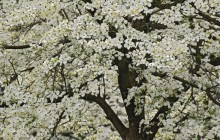Giant Flowering Dogwood - Kentucky