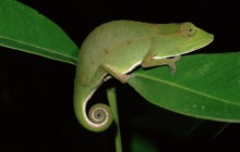 Short-Nosed Chameleon at Night - Mantadia Park - Madagascar