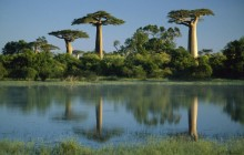Baobab Trees Reflected in Wetlands - Morondava - Madagascar