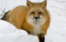Red Fox in Snow - Montana
