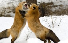 Red Foxes - Montana