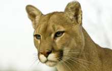 Profile of a Cougar - Montana