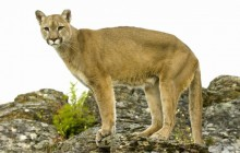 Mountain Lion - Montana
