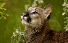 Watchful Cougar - Montana