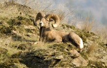 Rocky Mountain Bighorn Sheep - Montana