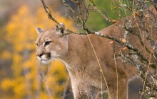A Watchful Cougar - Montana