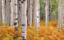 Birch forest wallpaper - Forest