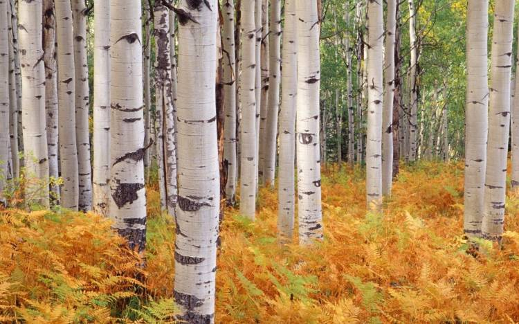 Birch forest wallpaper, Forest wallpaper