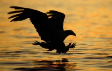 Striking at Sunset - White-tailed Eagle - Norway