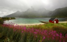 Wildflowers - Lofoten - Norway