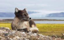Female Arctic Fox - Svalbard - Norway