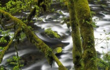 Moss-Covered Trees Above Eagle Creek - Oregon