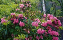 Rhododendrons and Multnomah Falls - Columbia River - Oregon